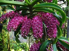 Amazing! Orchids Garden, Orchid Plants, Exotic Plants, Exotic Flowers, Tropical Flowers, Amazing Flowers, Purple Flowers, Beautiful Flowers, Orchid Varieties