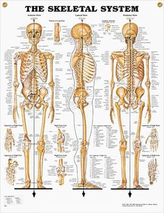Skeletal System anatomy poster shows anterior, lateral and posterior views of the human skeletal system.