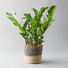 ZZ Plant Jute Pot Easy to care for with glossy green leaves the ZZ plant flourishes in almost any environment. This indoor beauty arrives ready to display in a jute pot. Vases, Peace Lily Plant, Buy Plants Online, Zz Plant, Best Indoor Plants, Jade Plants, Foliage Plants, Potted Plants, Outdoor Garden Furniture