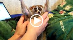 LOVING ANIMALS INTO EXTINCTION: Slow Lorises Went Viral And It Almost Killed Them - To learn more about the slow loris trade, please visit: http://www.wildlifealliance.org/slow-loris