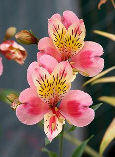 Alstroemeria - best flowers for use in the classroom. The flowers most closely match the diagrams. All Flowers, Flowers Nature, Exotic Flowers, Amazing Flowers, My Flower, Flower Art, Beautiful Flowers, Wedding Flowers, Cactus Flower