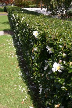 front of house camellia setsugekka hedge - Pinned by Emma Rice by Embrace Garden Designs Garden Inspiration, Dream Garden, Garden Hedges, Hedges, Outdoor Gardens, Front Yard Hedges, White Gardens, Garden Planning, Garden Design