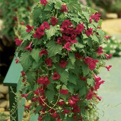 Far more floriferous, heat tolerant, and pest and disease resistant than others, Lofos™ Wine Red is a carefree Mexican vine that adds rich, hard-to-find color and texture to any sunny spot!