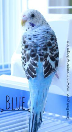 Blue-parakeet