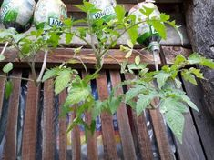 onyhakertek Techno, Garden, Plants, Decor, Red Peppers, Garten, Decoration, Lawn And Garden, Gardens