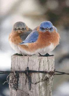 Michael L. Smith, Nature Photographer, The Mad Bluebird and Mate Funny Birds, Cute Birds, Pretty Birds, Beautiful Birds, Animals And Pets, Cute Animals, All Birds, Angry Birds, Backyard Birds