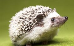 Hedgehogs prefer to live apart from other members of their own species, however, can form a tight bond with their human counterparts.