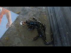 Feeding time for Fritz the spotted salamander