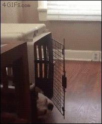 Lazy bulldog keeps hitting herself in the face with crate door. [full video]