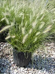 Pennisetum alopecuroides 'Hameln'. Dwarf Fountain Grass.