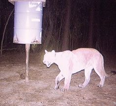 Yes, we have mountain lion in Texas.  This one was captured on a web cam in Panola, County Texas, where my husband's family has farmland.