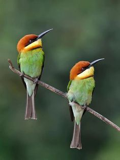 I was told they are bee eater birds, Kinds Of Birds, All Birds, Little Birds, Love Birds, Pretty Birds, Beautiful Birds, Animals Beautiful, Cute Animals, Exotic Birds