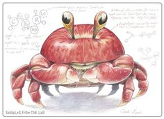 "Apple/Crab = Crabapple - Mixing vegetables and animals illustration series ""Samples from the Lab"" by Rob Foote, South Africa."