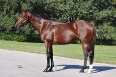 Csaba(2009)(Colt)Kitten's Joy- High Chant By War Chant. 4x4 To Northern Dancer, 4x5 To Roberto, 5(F)x5(F) To Mr Prospector. 36 Starts 13 Wins 3 Seconds 6 Thirds. Won Fred W Hooper H(G3)Twice, Hal's Hope S(G3), Tropical Park Derby(T), El Kaiser S, Harlan's Holiday S, Memorial H(Twice), Skip Trial S, 2nd National Museum Of Racing Hall Of Fame H(G3), Quality Road S, Harlan's Holiday S, 3rd Salvator Mile H(G3T), Palm Beach S(G3T), Miami Mile H(G3T).