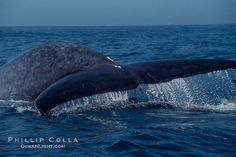 Blue whale fluking up (raising its tail) before a dive to forage for krill, Baja California (Mexico)., Balaenoptera musculus, natural history stock photograph, photo id 03332 Blue Whale Pictures, Largest Animal On Earth, History Images, Baja California, Whale Watching, Large Animals, Santa Barbara, Natural History, Dolphins