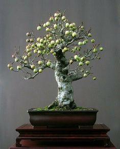 Bonsai - Crab Apple Tree