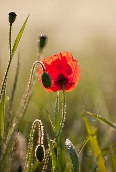 Backlit Poppy - Peter Hulance landscape photography (hva)