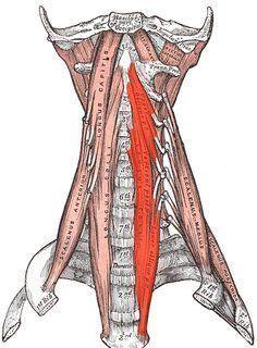 Muskuläre Dysbalance – 23 Übungen gegen Hohlkreuz, Rundrücken und Geierhals – KRAFTIMPULS