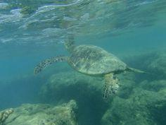 Turtle, Hanauma bay, Ohau, Hawaii
