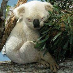Albino koala...❄