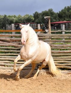 When Beauty Becomes Power Cremello horses have cream coats with pink skin and blue or glass eyes...Their manes and tails are white...and are sometimes called pseudo-albinos...Cremello horses have traditionally been shunned by some breeders and breed authorities...