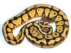 Desert Pastel Specter - Morph List - World of Ball Pythons Amphibians, Reptiles, Python Royal, Python Regius, Ball Python Morphs, Cute Baby Animals, Snake, Old Things, Pastel