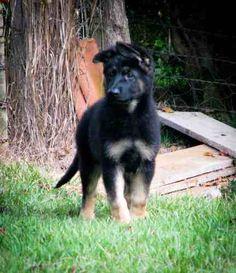 German Shepherd puppy #dog
