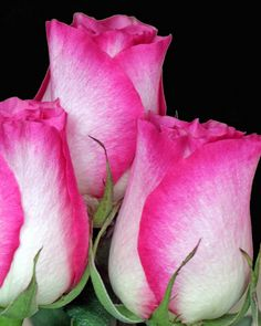 Rose Trio by Mike Oberg