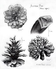 We also had to do a pencil drawing of a pinecone. I dont know how long this took. Kiss my Pinecone Botanical Drawings, Botanical Art, Botanical Illustration, Illustration Art, Cool Drawings, Drawing Sketches, Pencil Drawings, Graphite Drawings, Drawing Ideas