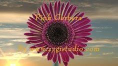 zygistudio - YouTube Gerbera, Video Clip, Nature, Flowers, Youtube, Plants, Naturaleza, Plant, Nature Illustration