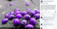 Purple lady bugs Found only in Hawaii! Purple or red.I don't like lady bugs! - ive never seen these in Hawaii. Purple Love, All Things Purple, Purple Rain, Shades Of Purple, Dark Purple, Purple Stuff, Purple Swag, Purple Hues, Beautiful Creatures