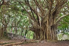 "THE ANCIENT BANYAN TREE Photograph by JAMES BRANDON | Prints available Taken on Hawaii's Big Island, this beautiful photograph of an ancient Banyan tree was sent to the Sifter by professional photographer James Brandon, who recalls: ""This massive banyan tree is located at Rainbow Falls on the Big Island of Hawaii. I…"