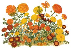 A poster for the now-defunct American Marigold Society, showing the diversity of flower types, with African marigolds (top), French marigolds (middle), and single-flowered Signet marigolds (bottom center). Artist unknown; reproduced by permission Elizabeth Christensen
