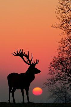 Фото Силуэт оленя на фоне заката