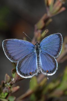Eastern Tailed Blue (Cupido comyntas). Types Of Butterflies, Flying Flowers, Butterfly Flowers, Blue Butterfly, Beautiful Bugs, Beautiful Butterflies, Bys, Nature Scenes, Native Plants