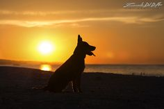 - CRONO - Bovaro Australiano di 4 mesi ( Australian Cattledog )- Emanuele Del Bufalo Photography