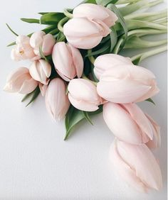 Blush tulips. Photo
