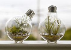 String old clear light bulbs on christmas light wire? No water, Tillandsia doesn't need it...