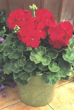Multibloom Red Geranium.True bright red. In our trials this hybrid was one of the earliest blooming geraniums grown from seed with a great number of flowers per plant. They still looked good after a l