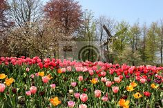 Stock photo of Holland windmills and tulips 52173694 - image 52173694
