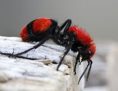 Red Velvet #Ant  Also known as a cow killer is a wingless wasp & found in Texas
