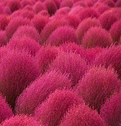 Burning Bush Grass Summer Cypress Hardy plant seeds 500 Graines Kochia scoparia