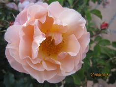 Rose at Plaza de Espana 2015