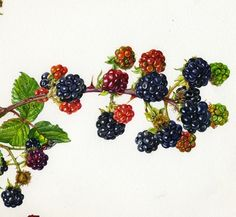 Examples of commissioned illustrations by Rosie Sanders, botanical artist.
