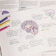 studeying:  a diagram of the brain ft. bad handwriting by sarah - ig: @studeying