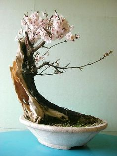 Bonsai… 桜の盆栽 sakura bonsai