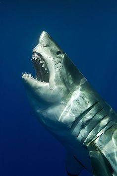 You get scared just looking at him. Great white shark by SERGIO RICCARDO — National Geographic