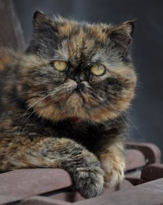 What an amazing looking Exotic Shorthair/Persian kitty…..