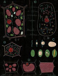 Cellules animales et végétales - planche scolaire biologie végétale - 1948 - illustré par Paul Sougy - de dessin Dr. Louis Thomas Jérôme Auzoux (1797-1880, France, Docteur en médecin Paris 1822, Professeur d'anatomie et de physiologie)