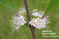 Native American Ethnobotany | AMERICAN BEAUTYBERRY (Callicarpa americana)